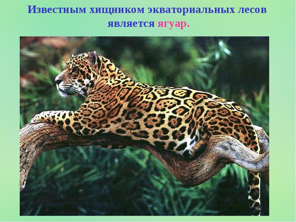 Известным хищником экваториальных лесов является ягуар.