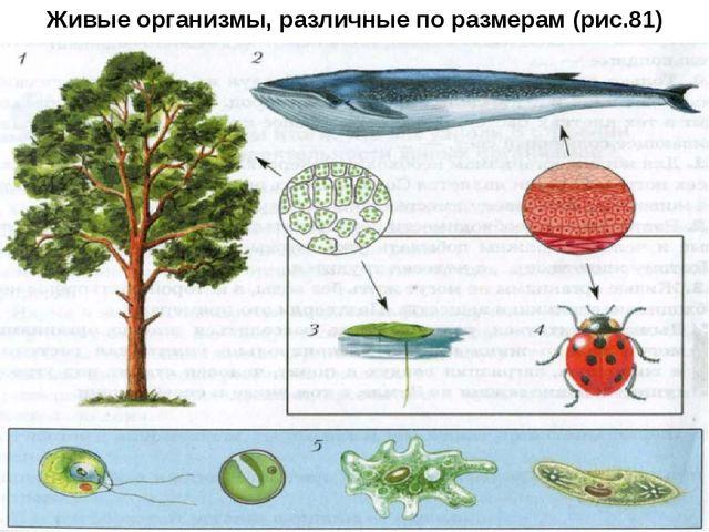 Живые организмы, различные по размерам (рис.81)
