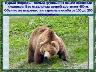 Бурый медведь – самый крупный из наших наземных хищников. Вес отдельных звере