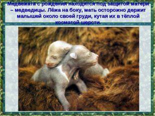 Медвежата с рождения находятся под защитой матери – медведицы. Лёжа на боку,