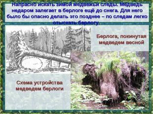Напрасно искать зимой медвежьи следы. Медведь недаром залегает в берлоге ещё