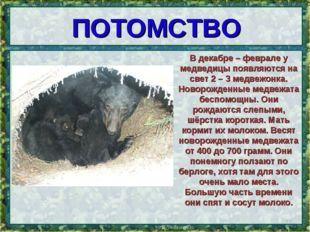 ПОТОМСТВО * В декабре – феврале у медведицы появляются на свет 2 – 3 медвежон