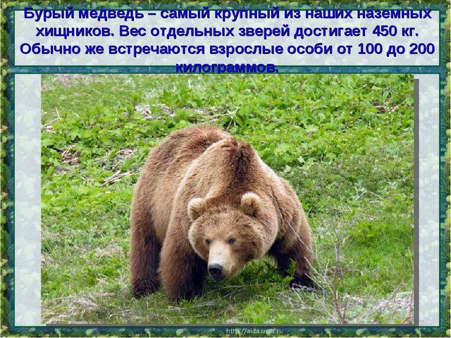 Бурый медведь – самый крупный из наших наземных хищников. Вес отдельных звере...