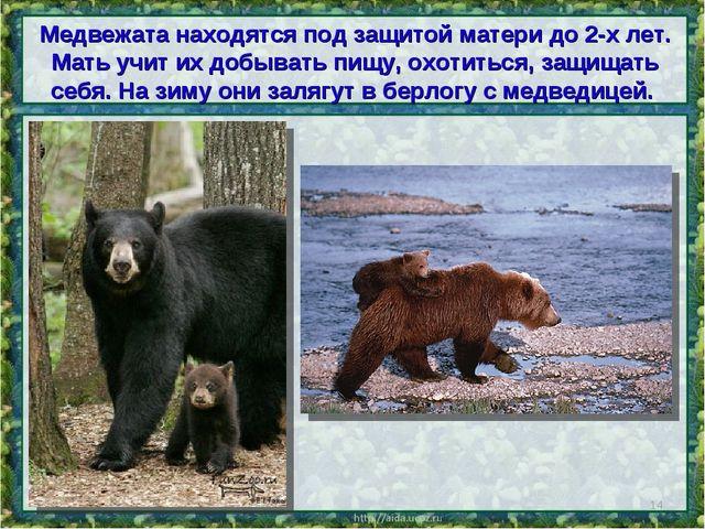 Медвежата находятся под защитой матери до 2-х лет. Мать учит их добывать пищу...