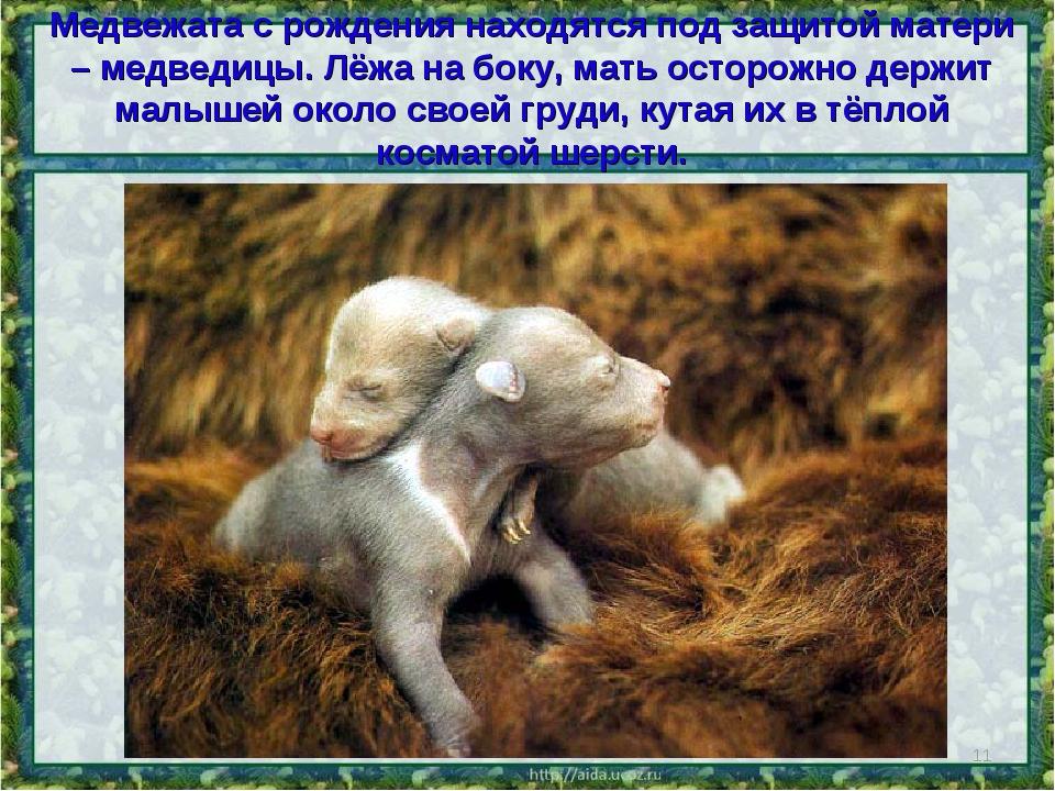 Медвежата с рождения находятся под защитой матери – медведицы. Лёжа на боку,...