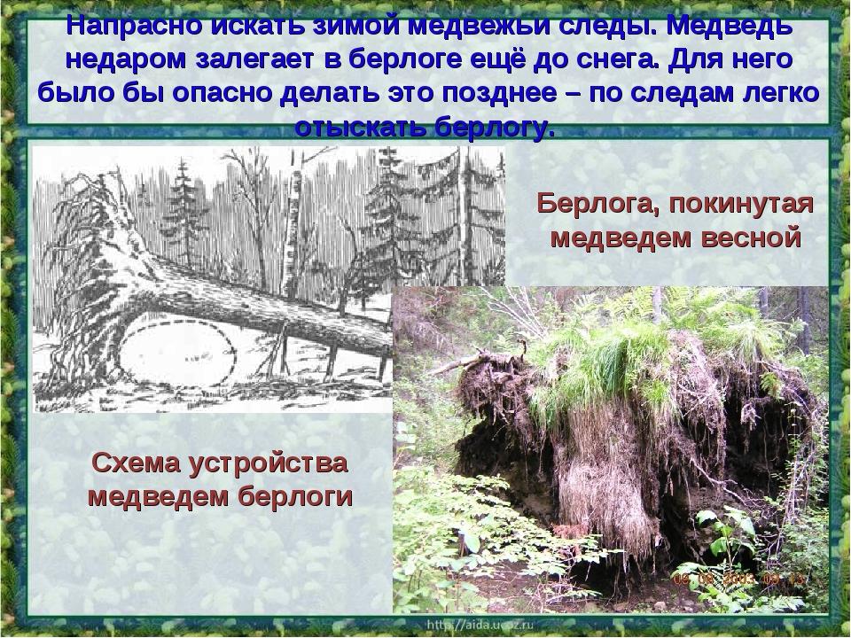 Напрасно искать зимой медвежьи следы. Медведь недаром залегает в берлоге ещё...