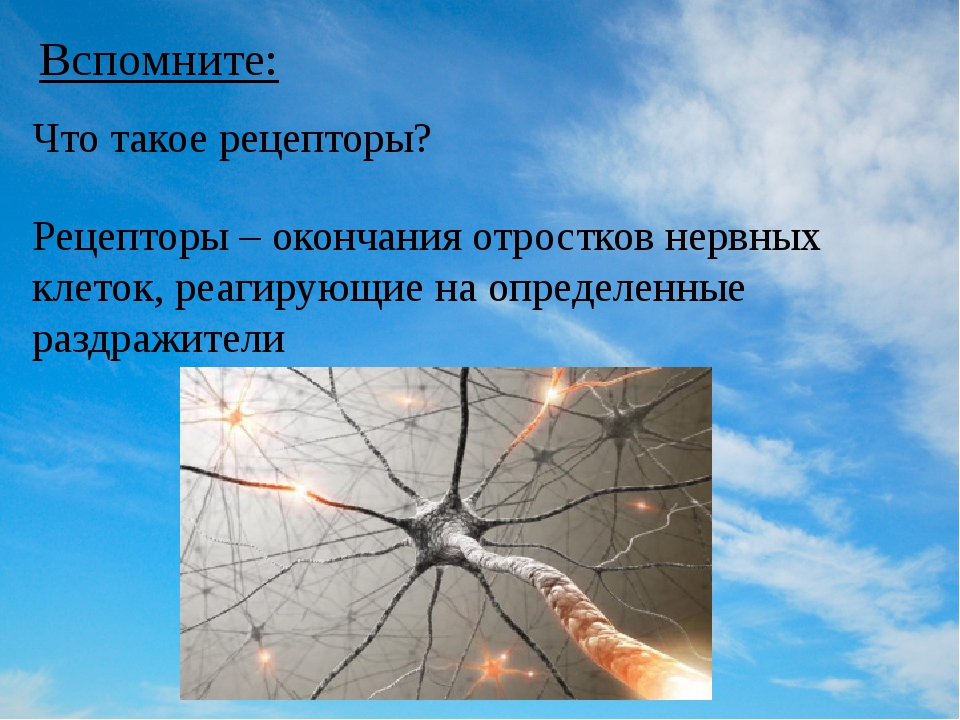 Вспомните: Рецепторы – окончания отростков нервных клеток, реагирующие на опр...