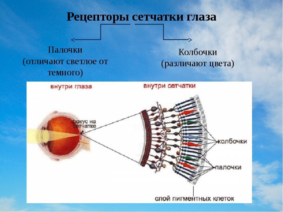 Рецепторы сетчатки глаза Палочки (отличают светлое от темного) Колбочки (разл...