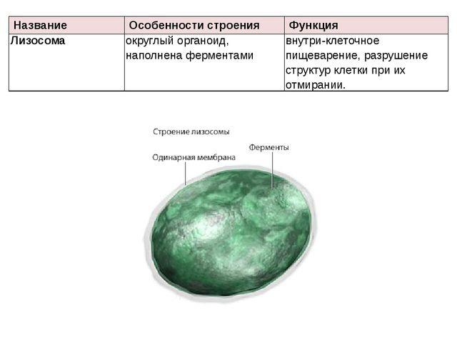 Название Особенности строения Функция Лизосома округлый органоид, наполнена ф...