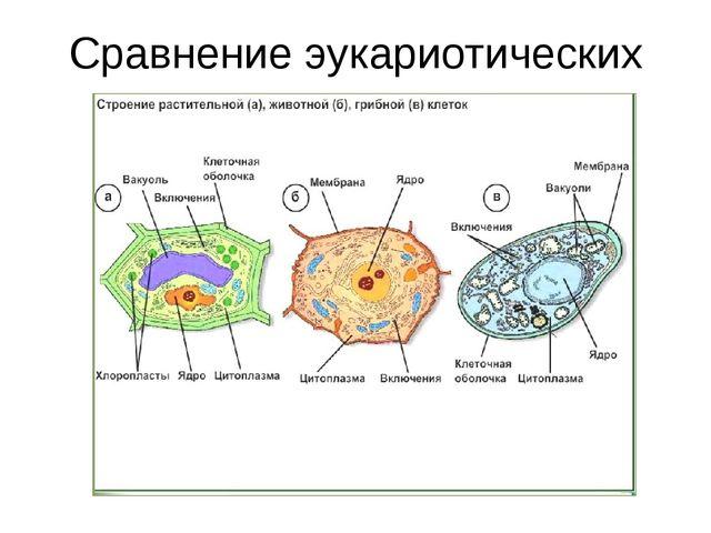 Сравнение эукариотических клеток