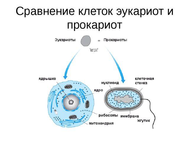 Сравнение клеток эукариот и прокариот