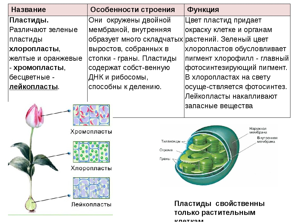 Пластиды свойственны только растительным клеткам. Название Особенности строен...