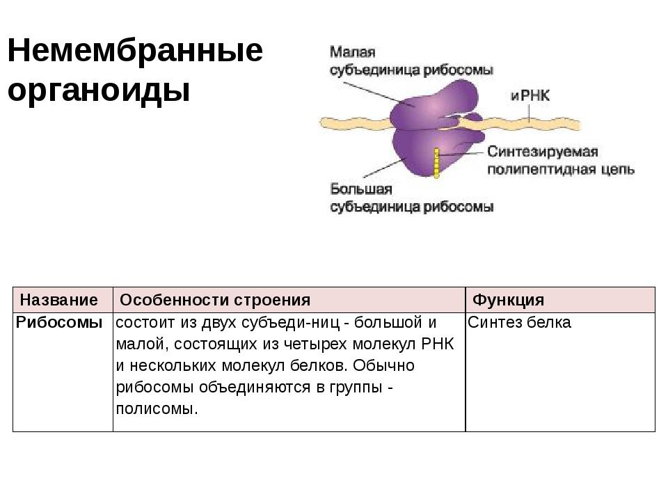 Немембранные органоиды Название Особенности строения Функция Рибосомы состоит...
