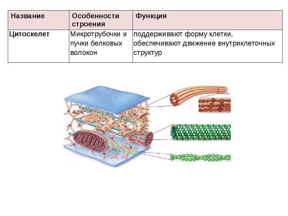 Название Особенности строения Функция Цитоскелет Микротрубочкии пучки белковы...