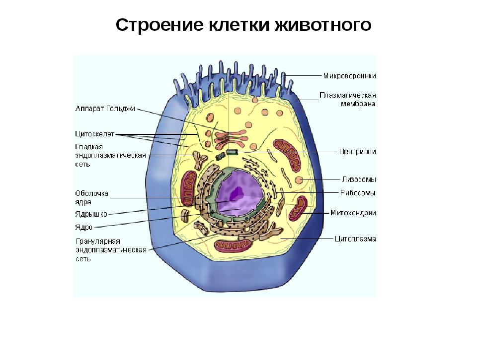 Строение клетки животного