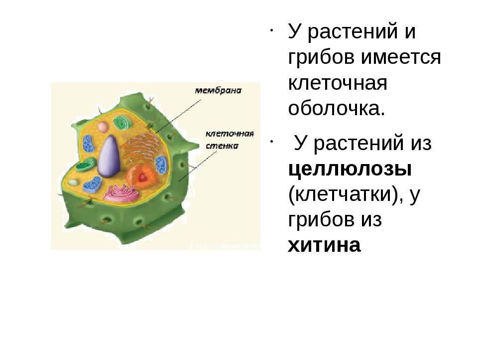 У растений и грибов имеется клеточная оболочка. У растений из целлюлозы (клет...