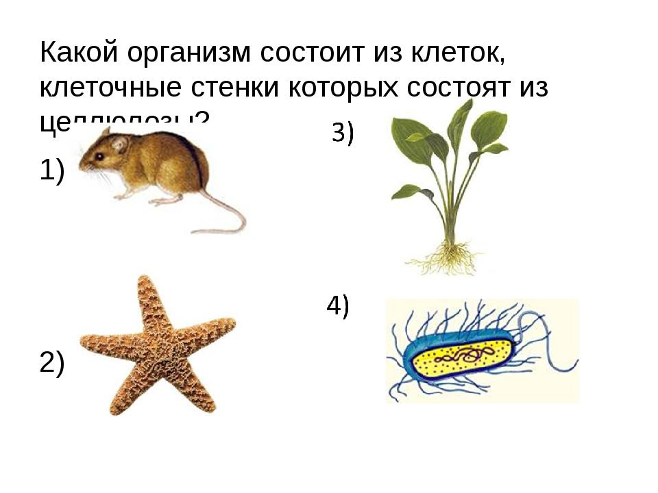Какой организм состоит из клеток, клеточные стенки которых состоят из целлюло...