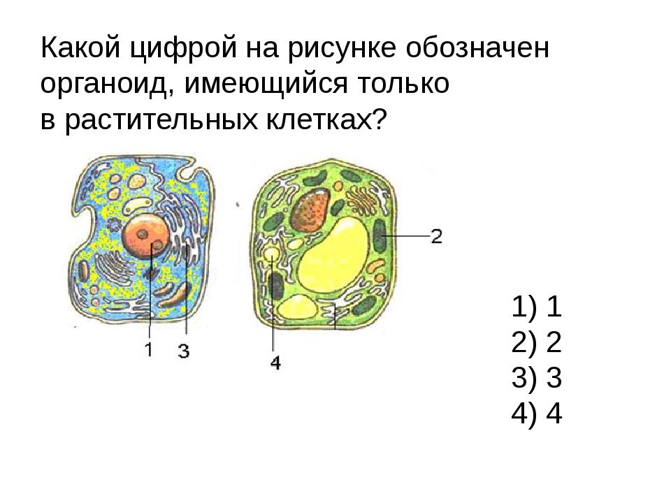 Какой цифрой на рисунке обозначен органоид, имеющийся только врастительных к...