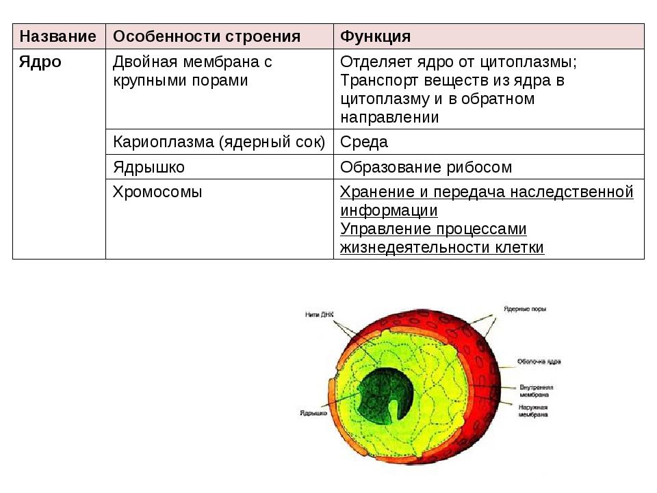 Название Особенности строения Функция Ядро Двойная мембрана с крупными порами...