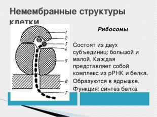 Немембранные структуры клетки Рибосомы Состоят из двух субъединиц: большой и