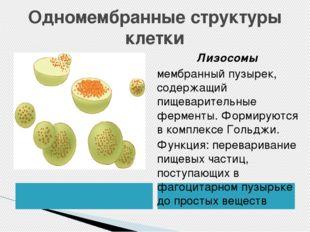 Одномембранные структуры клетки Лизосомы мембранный пузырек, содержащий пищев