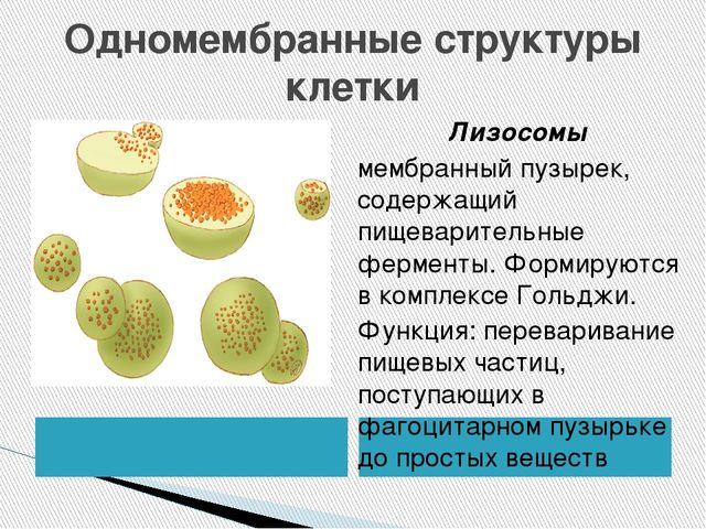 Одномембранные структуры клетки Лизосомы мембранный пузырек, содержащий пищев...
