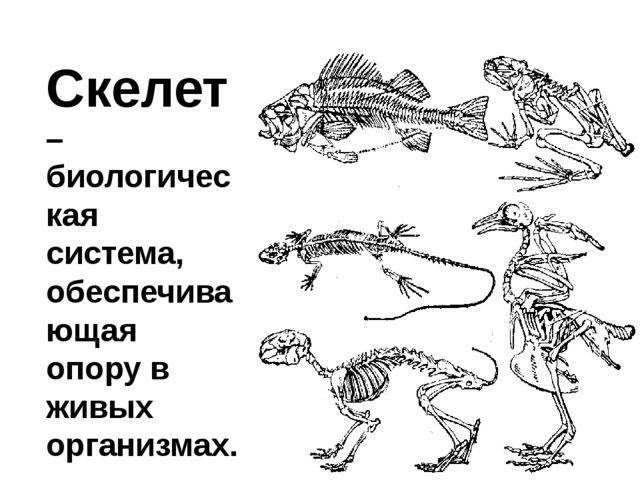 Скелет – биологическая система, обеспечивающая опору в живых организмах.