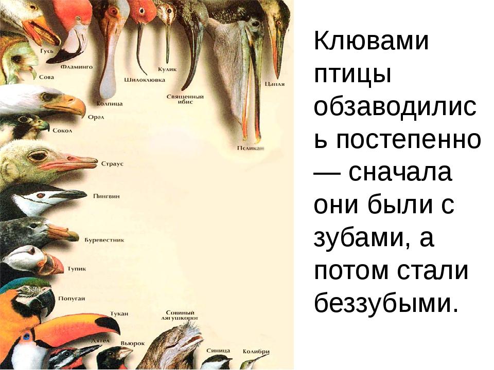 Клювами птицы обзаводились постепенно — сначала они были с зубами, а потом ст...