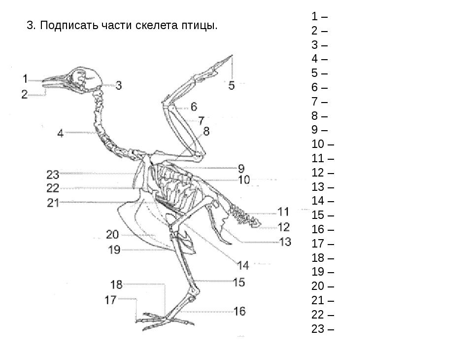 3. Подписать части скелета птицы. 1 – 2 – 3 – 4 – 5 – 6 – 7 – 8 – 9 – 10 – 11...