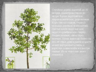 Какое дерево без ветра шумит? Стройное дерево высотой до 35 метров, диаметром