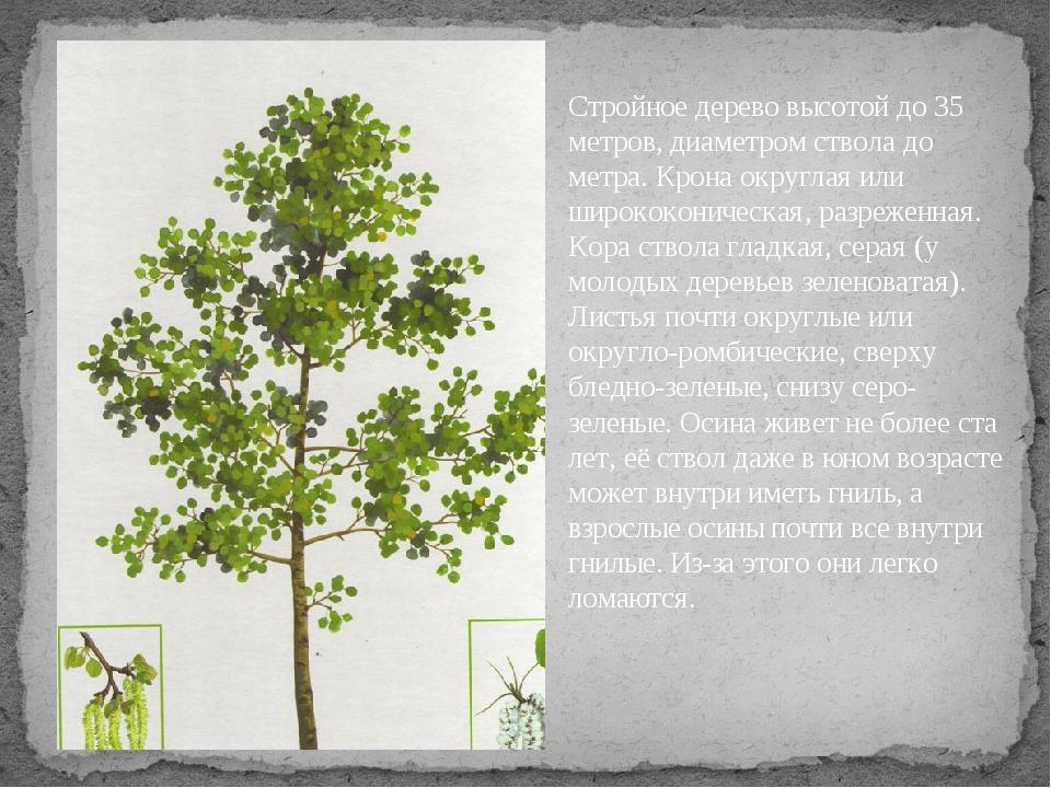 Какое дерево без ветра шумит? Стройное дерево высотой до 35 метров, диаметром...