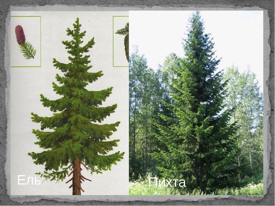 Какие хвойные деревья растут в нашей тайге Ель Пихта
