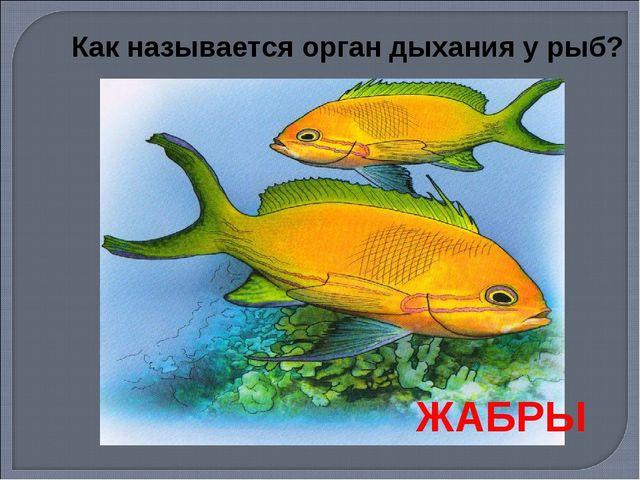 Как называется орган дыхания у рыб? ЖАБРЫ