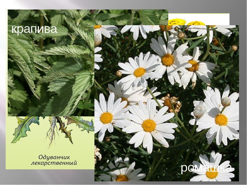 Какие лекарственные растения растут в нашем таёжном крае? крапива ромашка