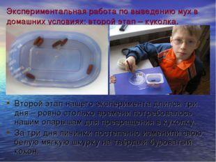 Экспериментальная работа по выведению мух в домашних условиях: второй этап –