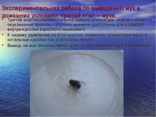 Экспериментальная работа по выведению мух в домашних условиях: третий этап –