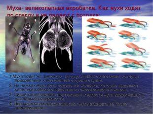 Муха- великолепная акробатка. Как мухи ходят по стеклу и не падают с потолка:
