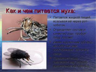 Как и чем питается муха: Питается жидкой пищей, всасывая её через рот-хоботок