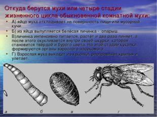 Откуда берутся мухи или четыре стадии жизненного цикла обыкновенной комнатной