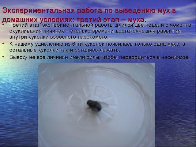 Экспериментальная работа по выведению мух в домашних условиях: третий этап –...