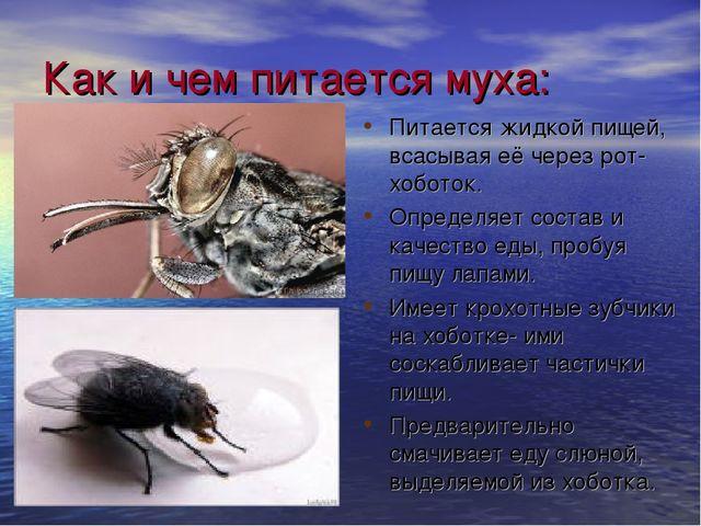 Как и чем питается муха: Питается жидкой пищей, всасывая её через рот-хоботок...