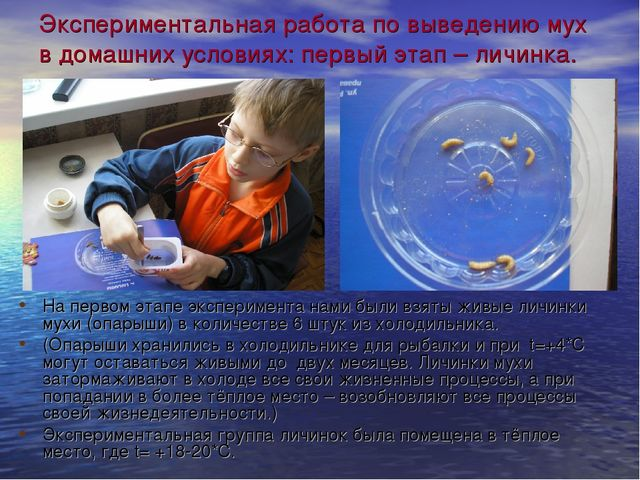 Экспериментальная работа по выведению мух в домашних условиях: первый этап –...
