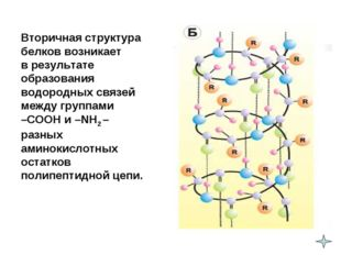 Вторичная структура белков возникает в результате образования водородных связ