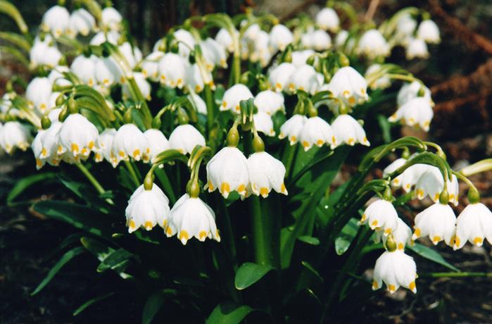 Белоцветник — белая фиалка. Выращивание, посадка и уход ...