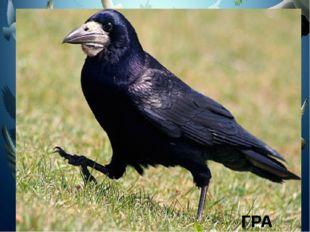 Что, за весенняя чёрная птица Любит за плугом ходить и кормиться? Что, за ве