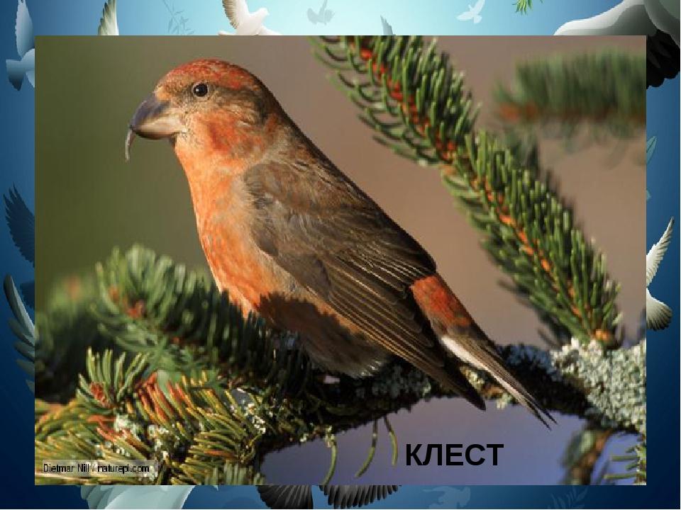 Птичка на большой сосне Нам стрекочет: «клё-клё-клё». Твёрдый клюв похож на к...