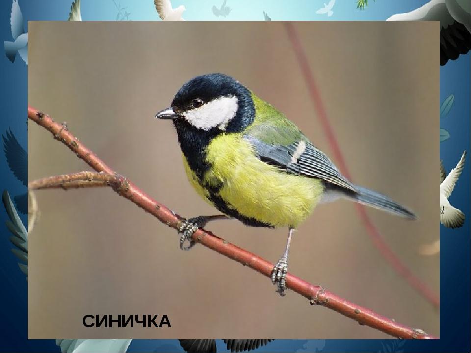 Спинкою зеленовата, Животиком желтовата, Чёрненькая шапочка И полоска шарфика...