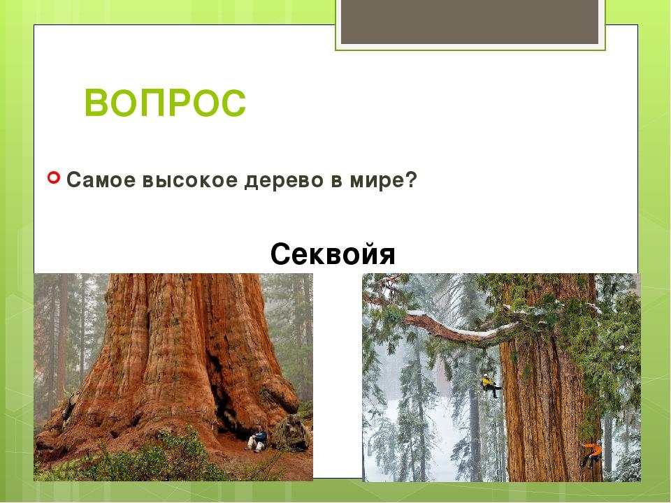 ВОПРОС Самое высокое дерево в мире? Секвойя