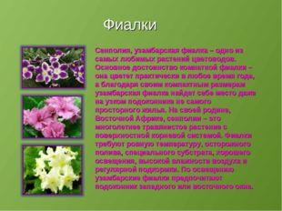 Фиалки Сенполия, узамбарская фиалка – одно из самых любимых растений цветовод
