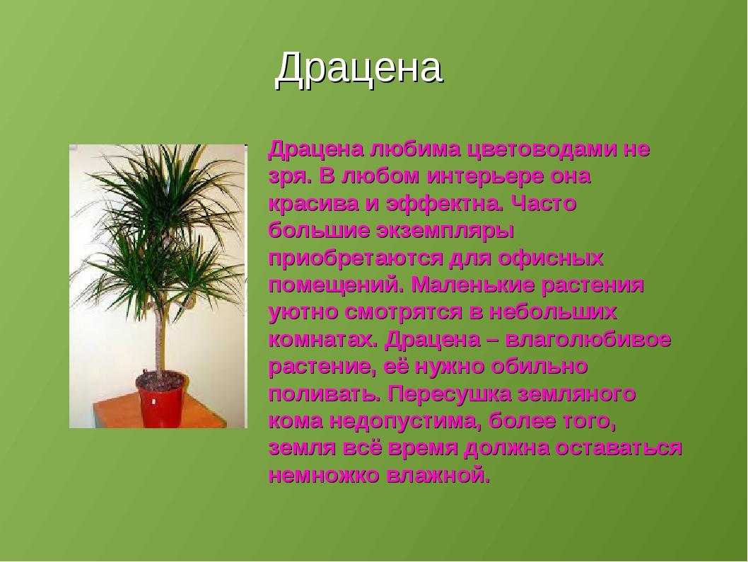 Драцена Драцена любима цветоводами не зря. В любом интерьере она красива и эф...